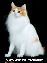 longhaired japanese bobtail cat