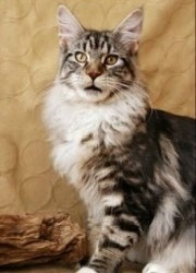 silver classic tabby maine coon cat