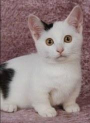black and white munchkin kitten