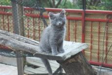 blue nebelung cat