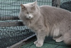 nebelung cat breed
