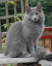 nebelung cat, long haired russian blue cat