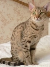 spotted ocicat
