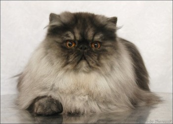 persian cat color black smoke