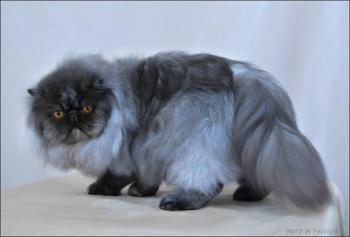 black smoke persian cat