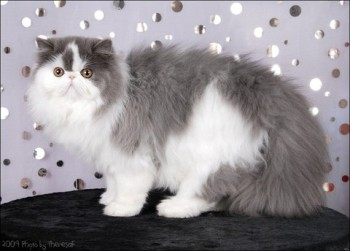 persian kitten blue harlequin