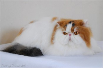 persian cat calico harlequin