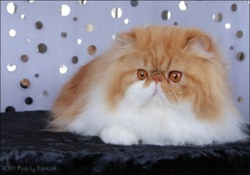 persian cat red bi-color