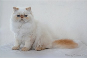 red color point persian cat