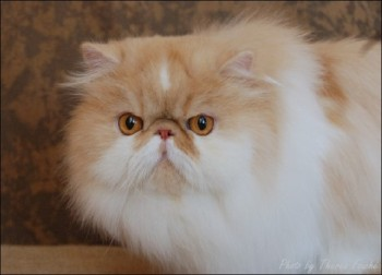 red shaded bi-color persian cat