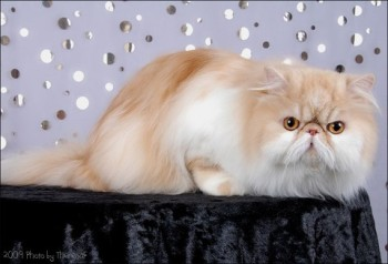 persian cat red shaded cameo
