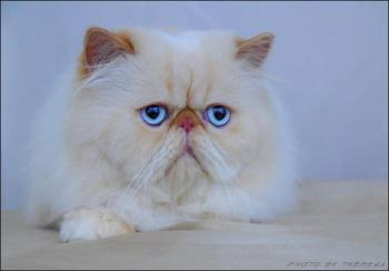 longhaired persian cat