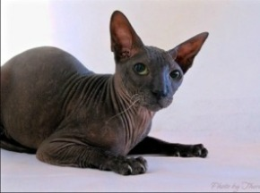peterbald with black coat