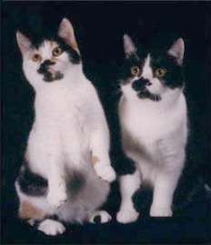 calico and black & white Manx cats