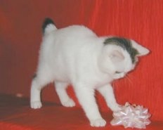Brown Tabby and White Van Manx Kitten with stubby tail