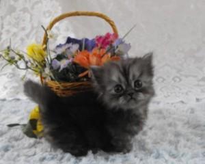 napoleon cats