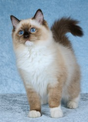 Illinois For In Kittens Ragdoll Sale