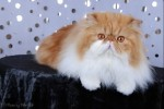 red bi-color persian cat