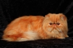 red persian cats
