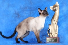 seal point siamese cat