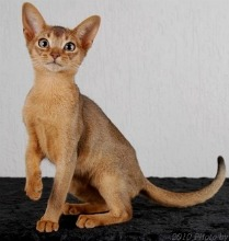 Abyssinian cats for sale michigan