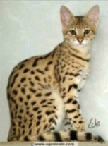 savannah cat wild hybrid cat