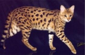 savannah cat walking
