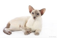 lilac siamese cat