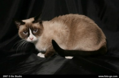 seal snowshoe cat