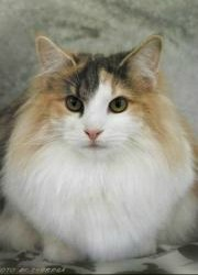 longhaired norwegian forest cat