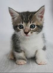 small munchkin kitten