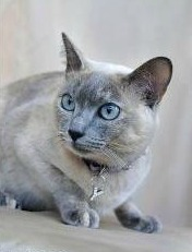 Tonkinese Kittens for Sale
