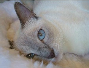 blue point tonkinese cat
