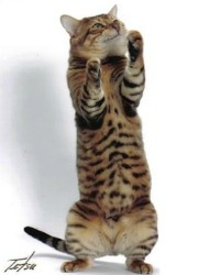 toyger cat standing on back legs