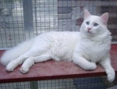 white turkish van cat