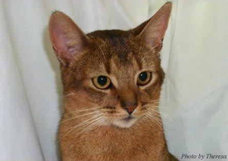 Abyssinian Cat | Owner Landie Copperthwaite | Breeder Marion Waldanja | photo Theresa Fouche