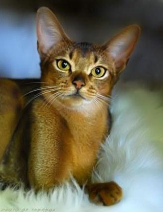 ruddy Abyssinian cat | Hillstblues Canasta of Sherada