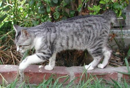 American Bobtail Cat Facts