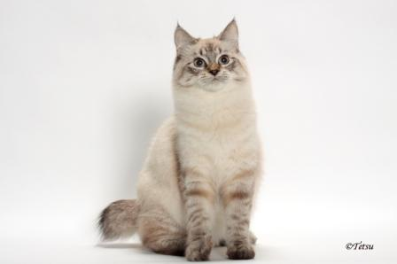 seal lynx point American Bobtail cat