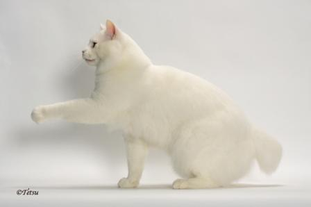 American Bobtail Cat | A Bebop Tail Yeti of NuDawnz | Breeder Lorna Friemoth| photo Tetsu