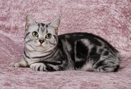American Shorthair  |Kashew's Angkor Rinpoche |Black silver shaded and white | Owners D Walstra and K Green |Breeder Wendy Welham