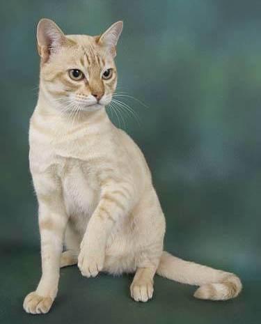Australian Mist cat