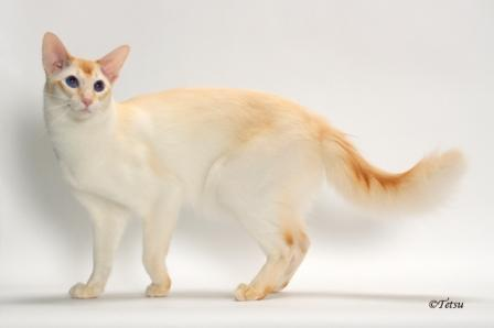 Balinese Cat Breed Profile And Facts