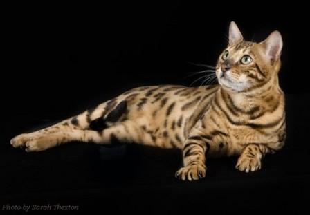 Bengal Cat © Sarah Thexton