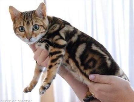 marbled Bengal cat