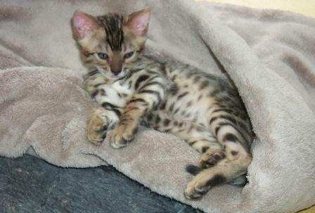 Bengal kitten at play