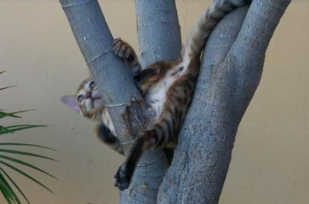Bengal kitten at play