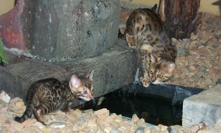 bengal kittens at play