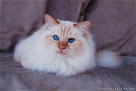 Birman cat © Theresa Fouche