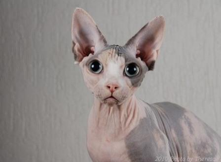 black harlequin Sphynx cat